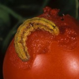 Omida fructelor - Helicoverpa armigera - Fruitworm-8