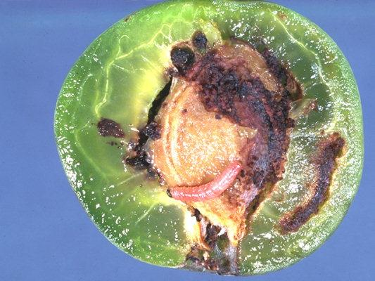 http://www.pesticide.ro/images/daunatori/viermele-prunelor-cydia-funebrana-laspeyeresia-funebrana-19_9_2.jpg